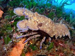 Slipper (or spanish) lobster near Crocodile Rock on Gozo by Rob Spray 